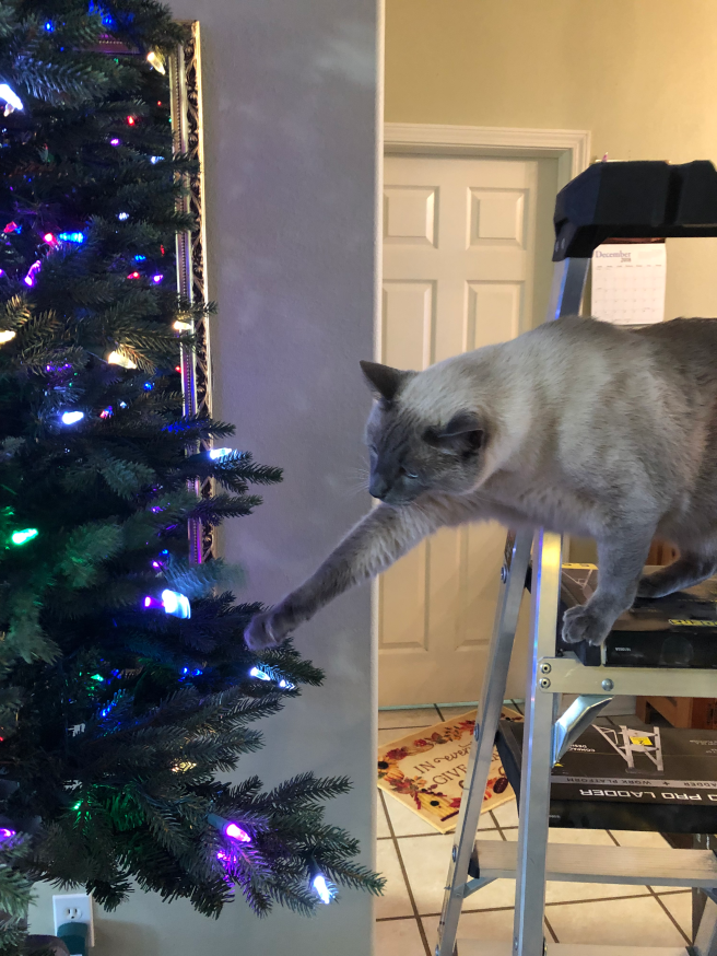 Siamese cat reaching for Christmas tree from a ladder.